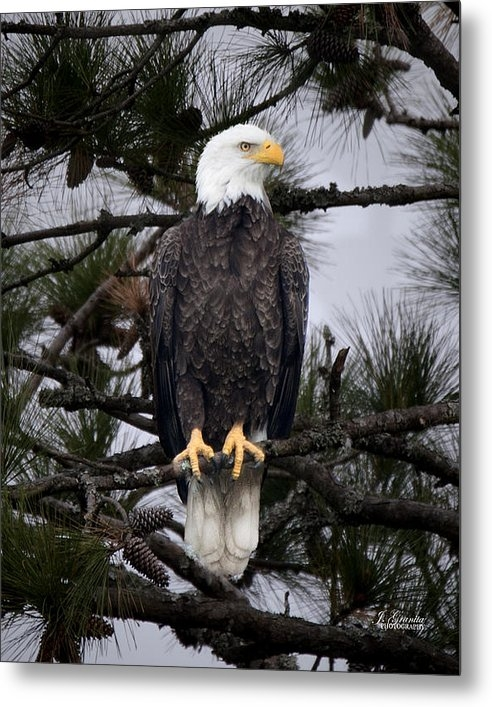 Joe Granita - Bald Eagle on Perch Print