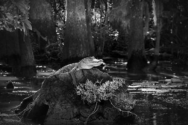 Mountain Dreams - Alligator in the Louisian... Print