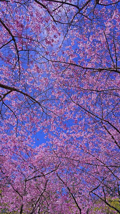 Nina Lin - Cherry blossom Print
