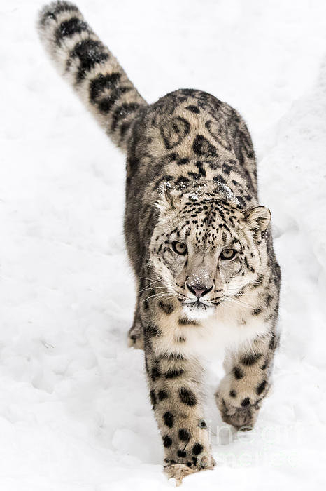 Abeselom Zerit - Snow Leopard on the Prowl... Print