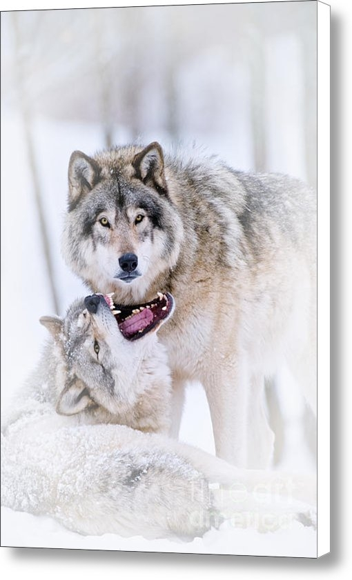 Wolves Only - Timber Wolf Pictures 56 Print