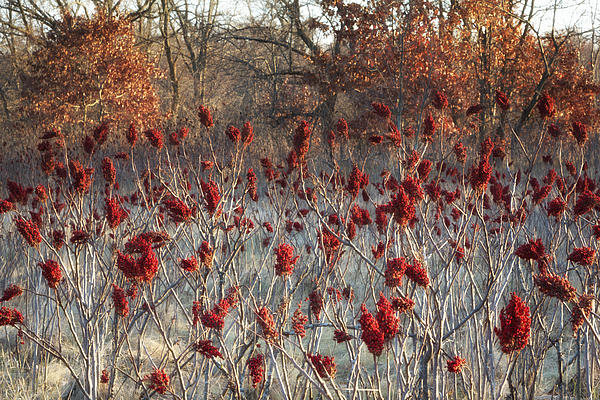 Ken Wolter - Vibrant Red Sumac Ready f... Print