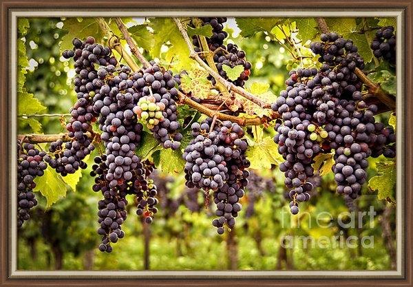 Elena Elisseeva - Red grapes in vineyard Print