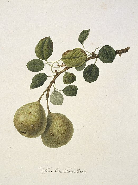 Science Photo Library - Aston Town Pear (1818) Print
