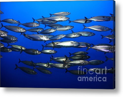 Wingsdomain Art and Photography - School of Pacific Sardine... Print