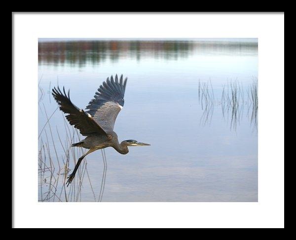 Peter Gray - Blue Heron 3 Print