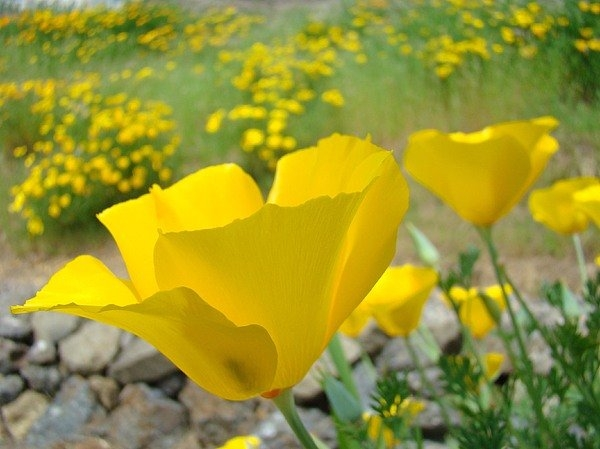 Baslee Troutman - Yellow Poppy Flower Meado... Print