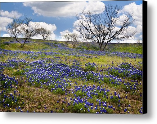 David and Carol Kelly - Scattered Bluebonnets Print
