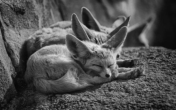 Yassine Goudmi - The Sleeping fox Print