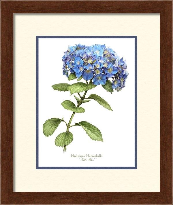 Artellus Artworks - Hydrangea Nikko Blue Print