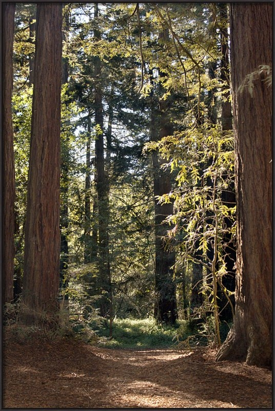 Timothy Manning - Through the Redwoods of O... Print