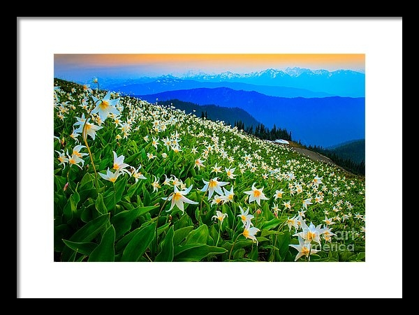 Inge Johnsson - Field of Avalanche Lilies Print