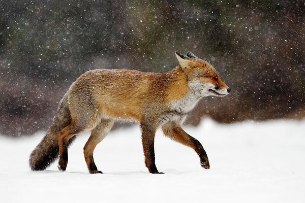 Roeselien Raimond - Cold as Ice - Red Fox in ... Print