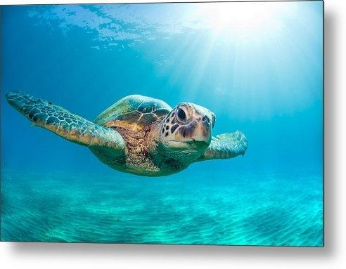 Monica and Michael Sweet - Sunburst Sea Turtle Print