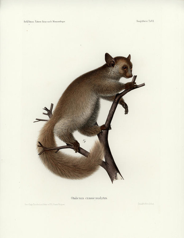 Hugo Troschel and J D L Franz Wagner - Brown Greater Galago or T... Print