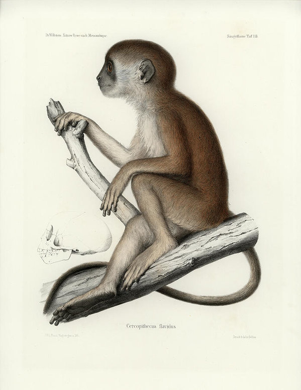 J D L Franz Wagner - Yellow Baboon, Papio cyno... Print
