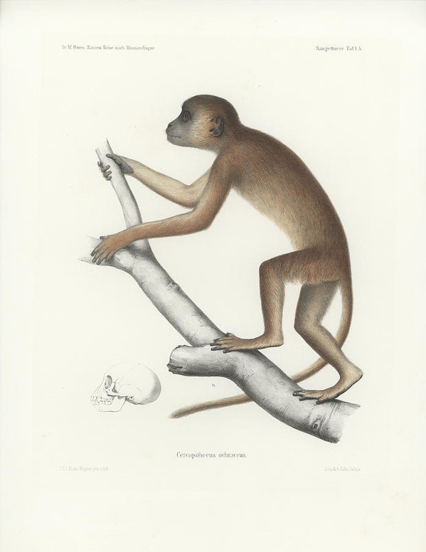 J D L Franz Wagner - Central Yellow Baboon, Pa... Print
