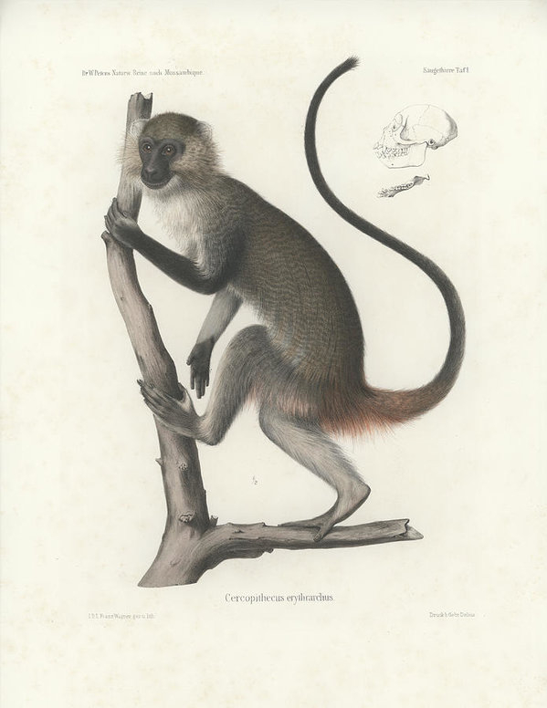 J D L Franz Wagner - White Throated Guenon, Ce... Print