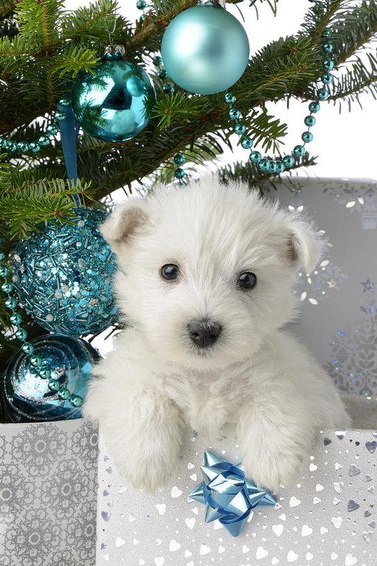 Greg Cuddiford - Snowy White Puppy Present Print
