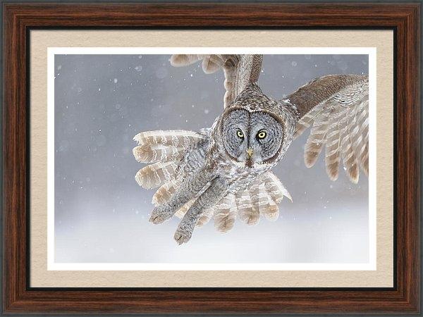 Scott  Linstead - Great Grey Owl in Snowsto... Print