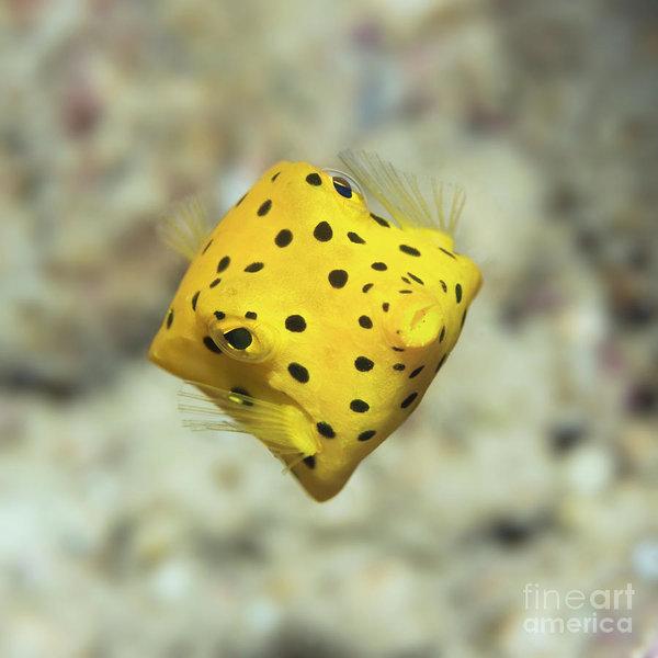MotHaiBaPhoto Prints - Black-spotted boxfish Print