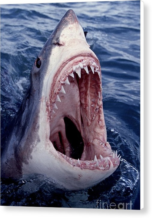Brandon Cole - Great White Shark lunging out of the ocean with mouth open showing teeth