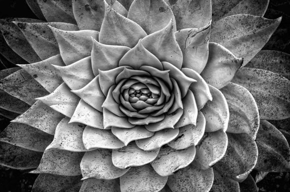 Lawrence Knutsson - Agave Succulent