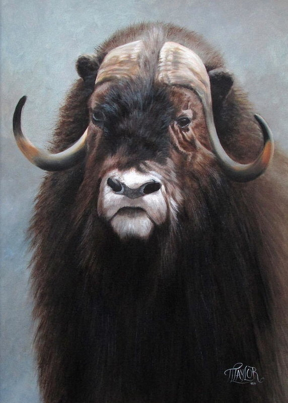 Tammy  Taylor - Musk Ox