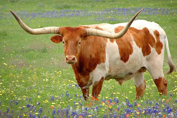 Jon Holiday - Texas Longhorn Standing in Bluebonnets