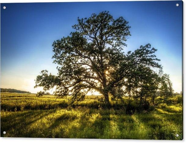 Scott Norris - Sunset Oak