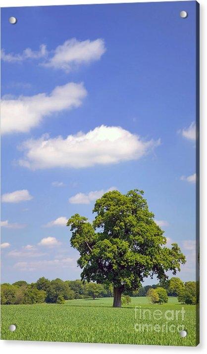 Richard Thomas - Oak tree in a field