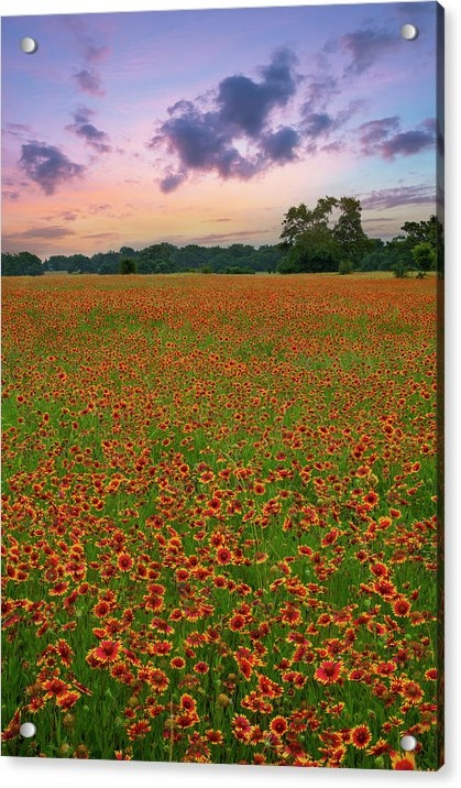 Rob Greebon - Texas Hill Country Red Wildflowers 2