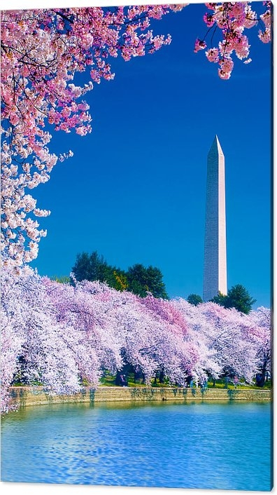 Don Lovett - Cherry Blossoms