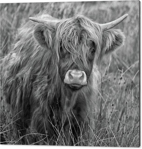 Martin Newman - Highland Cow