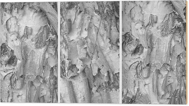 Suzanne Powers - Triptych of Curling Tree Bark In Black and White with a White Background