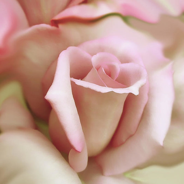 Jennie Marie Schell - Pink and Ivory Rose Portrait