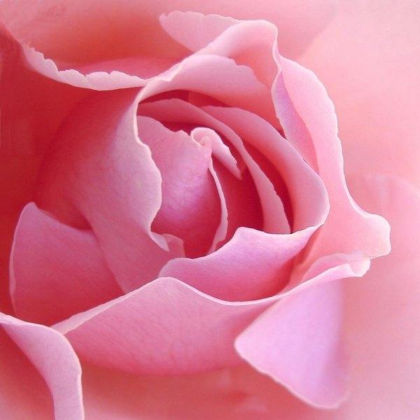 Jacqueline Migell - Sugar of Rose