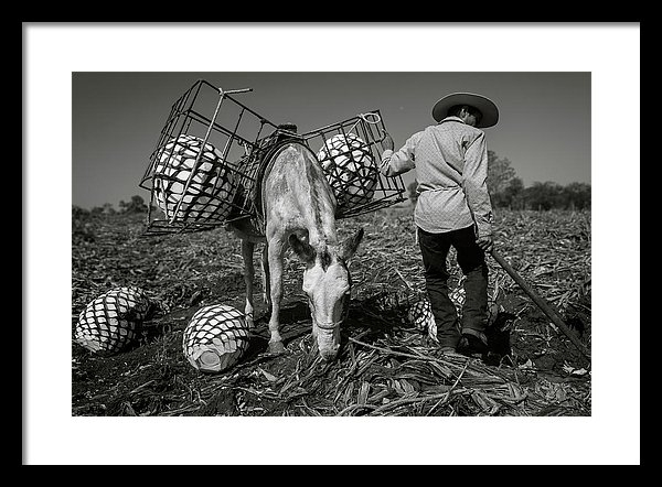 Dane Strom - Jimador in an Agave Field in Mexico