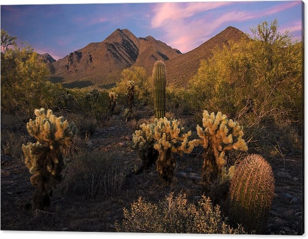 Dave Dilli - Cholla Cactus at McDowell Mountains