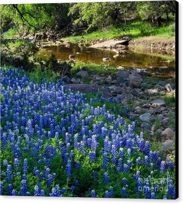 Cathy Alba - Bluebonnets by the stream