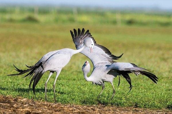 Peter Chadwick - Blue Cranes