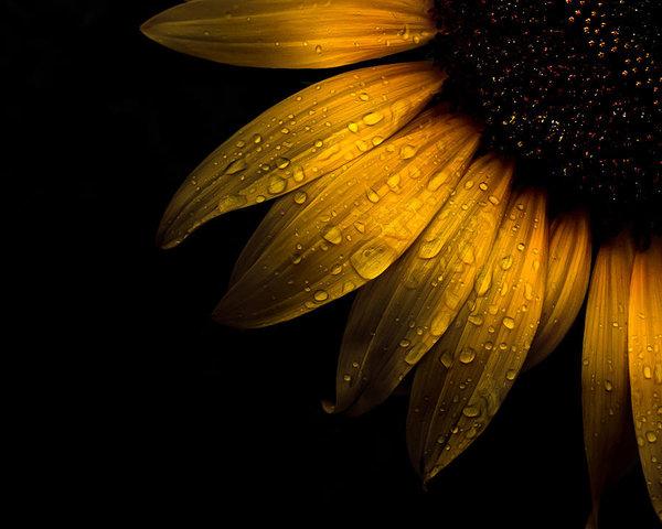 Brian Carson - Backyard Flowers 28 Sunflower
