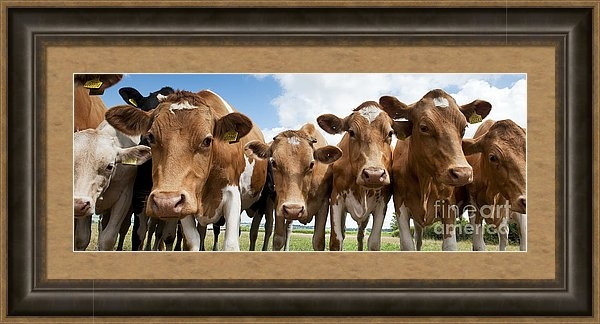 Tim Gainey - Inquisitive Cows