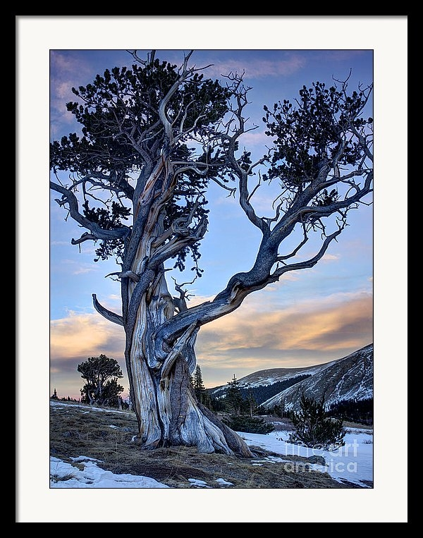 Andrew Terrill - Ancient Bristlecone Pine