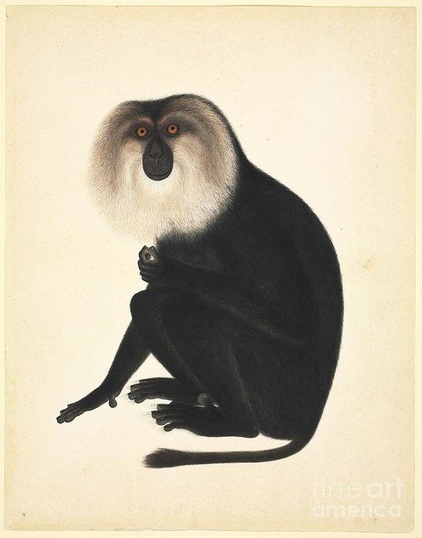 Natural History Museum, London - Chinese Monkey, 19th Century