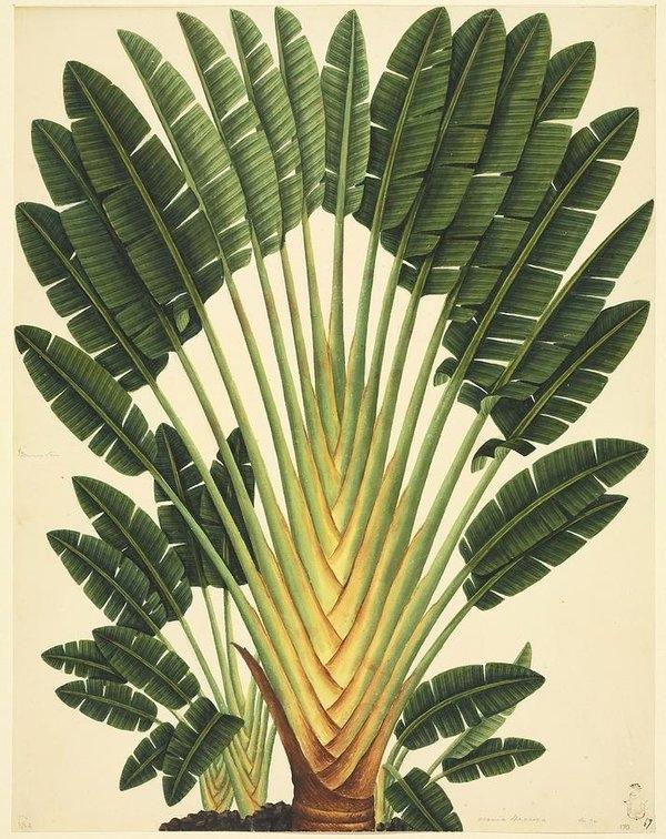 Science Photo Library - Strelitzea flower, 19th-century artwork
