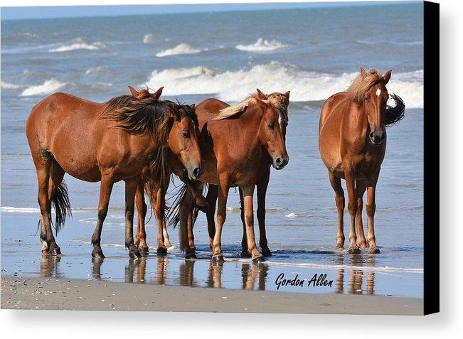 Gordon Allen - Wild Mustangs of Corolla