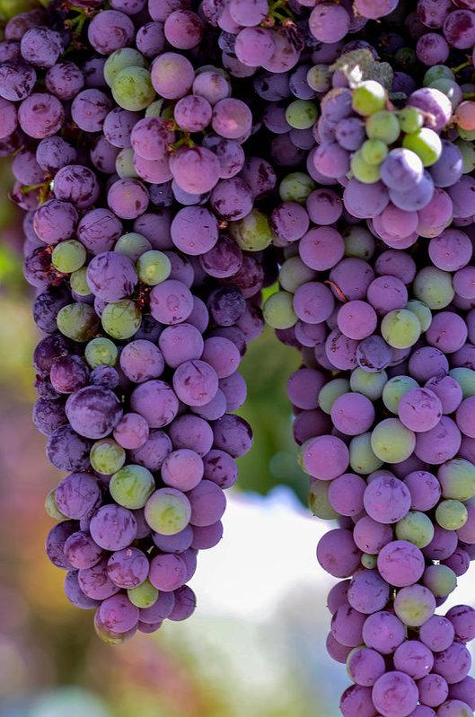 Michael Moriarty - Grape Bunches Portrait