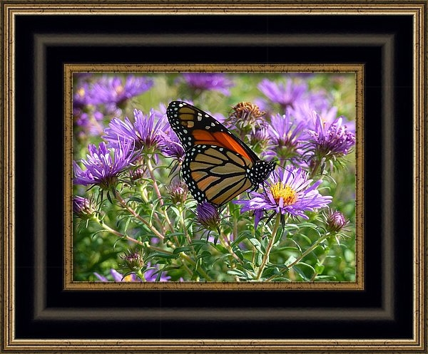 Barbara Ebeling - Asters and Butterfly