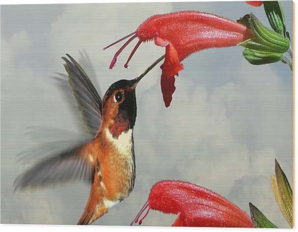 IM Spadecaller - Rufous Hummingbird and Wild Flower